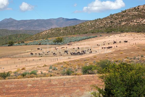 Autruche ferme paysage vue région ouest Photo stock © EcoPic