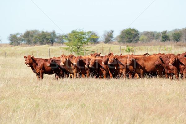 Rood vee gras koe veld Stockfoto © EcoPic