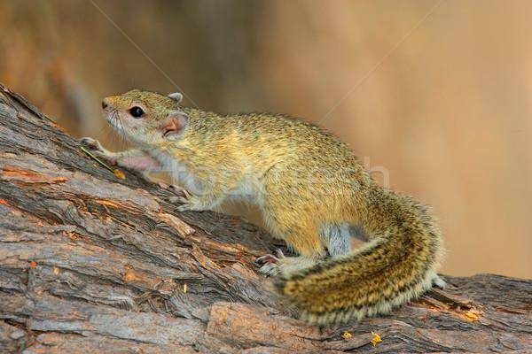 Fa mókus ül Dél-Afrika természet afrikai Stock fotó © EcoPic