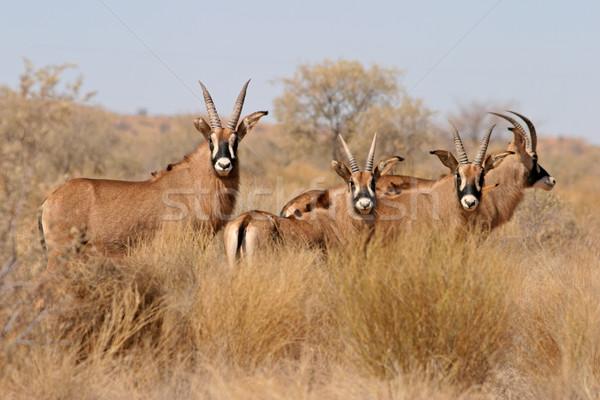 Ritka veszélyeztetett Dél-Afrika fű természet Afrika Stock fotó © EcoPic