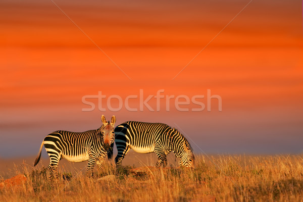 Cape Mountain Zebras Stock photo © EcoPic