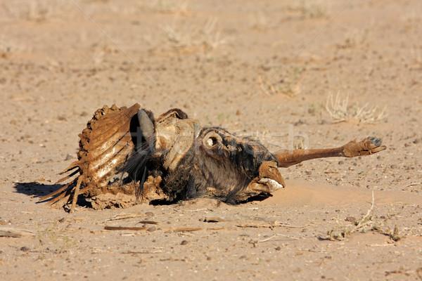 Wildebeest carcass Stock photo © EcoPic