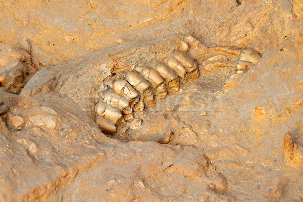 Ancient fossil jaw bone Stock photo © EcoPic