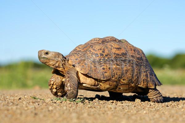 Leopárd teknősbéka hegy Dél-Afrika égbolt szemek Stock fotó © EcoPic
