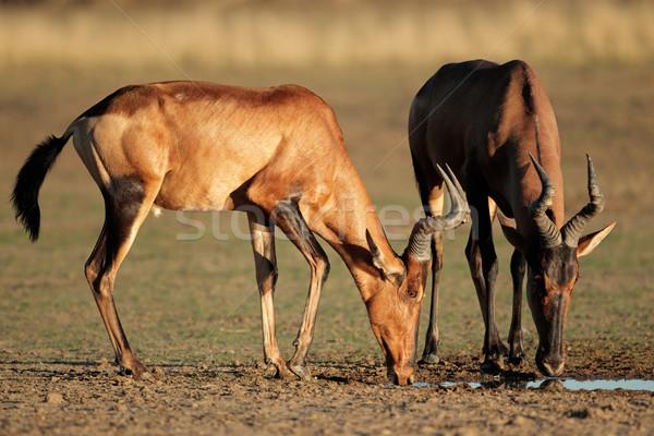 Red hartebeest drinking Stock photo © EcoPic