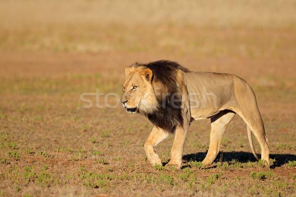 Yürüyüş Afrika aslan büyük erkek çöl Stok fotoğraf © EcoPic