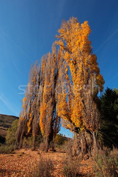 Topola drzew jesienią spadek krajobraz kolorowy Zdjęcia stock © EcoPic