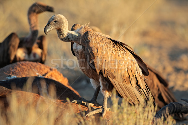 Scavenging white-backed vultures Stock photo © EcoPic
