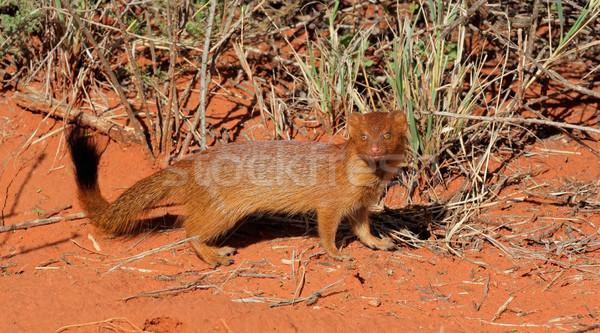 Slender mongoose Stock photo © EcoPic