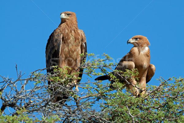 Tawny eagles Stock photo © EcoPic