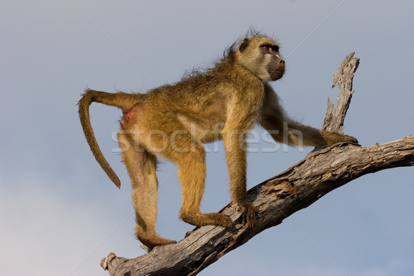 бабуин дерево парка Ботсвана южный Африка Сток-фото © EcoPic