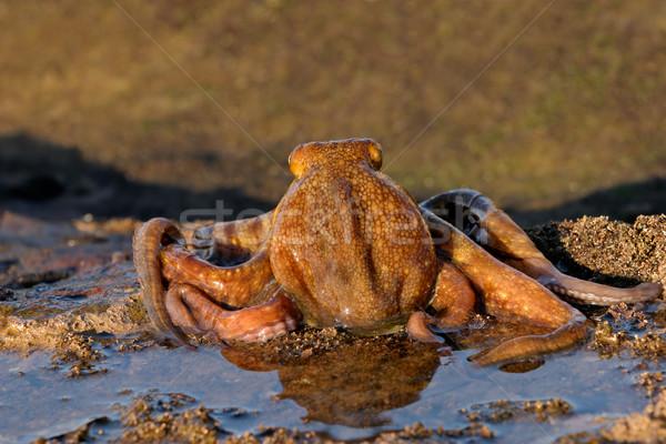 Octopus Stock photo © EcoPic