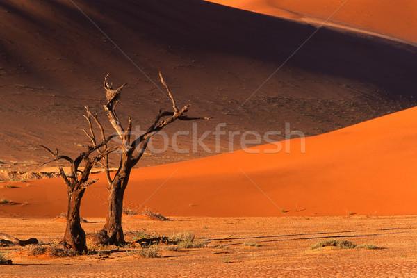 Drzewo wydma martwych wielbłąda cierń późno Zdjęcia stock © EcoPic