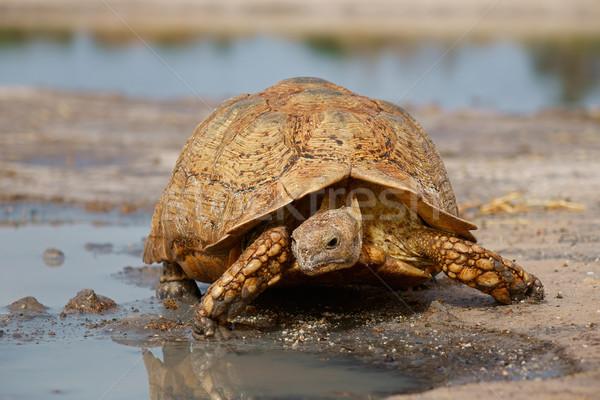 Leopard черепаха горные ЮАР воды глазах Сток-фото © EcoPic