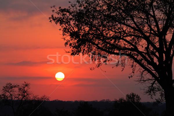 саванна Восход африканских дерево ЮАР Африка Сток-фото © EcoPic