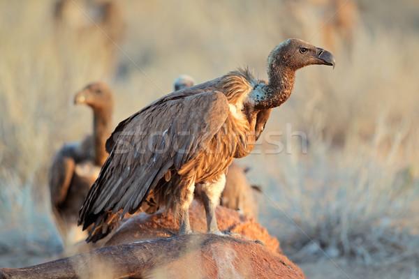 ЮАР птица крыльями африканских сидят Открытый Сток-фото © EcoPic