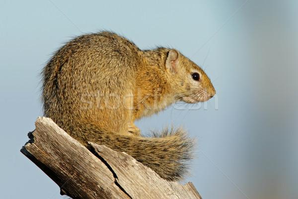 Eichhörnchen im Gesicht Große dicke schwarze Frauen nackt