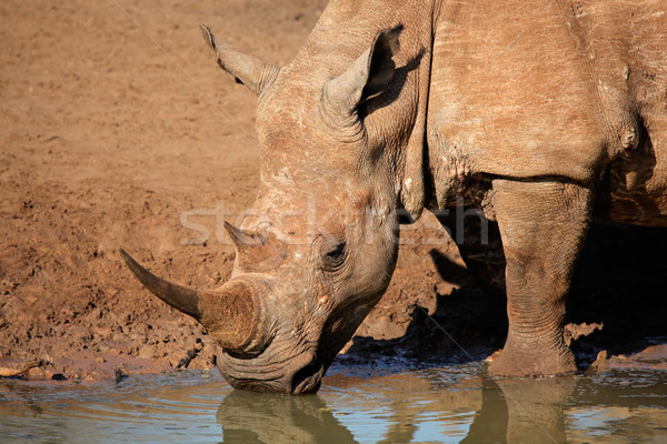 White rhinoceros drinking water Stock photo © EcoPic