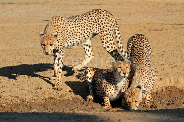 Drinkwater woestijn South Africa ogen natuur kat Stockfoto © EcoPic