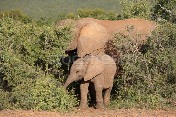 Young African elephant Stock photo © EcoPic