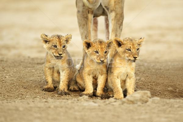 Aranyos oroszlán három ül csetepaté sivatag Stock fotó © EcoPic