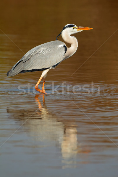 Grey heron in water Stock photo © EcoPic