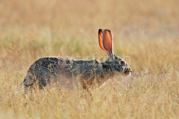 заяц трава парка Намибия африканских Сток-фото © EcoPic