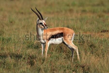 Roan antelope Stock photo © EcoPic