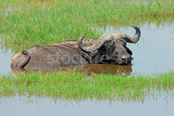 African buffalo in water Stock photo © EcoPic