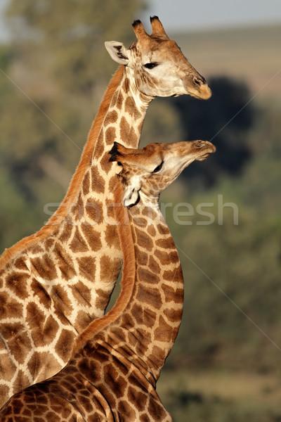 Giraffa interazione due giraffe Sudafrica african Foto d'archivio © EcoPic