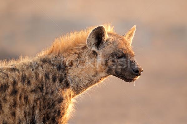 Hyäne Porträt Park Namibia Augen Afrika Stock foto © EcoPic