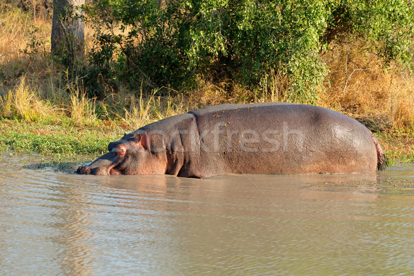 Hippopotamus in water Stock photo © EcoPic