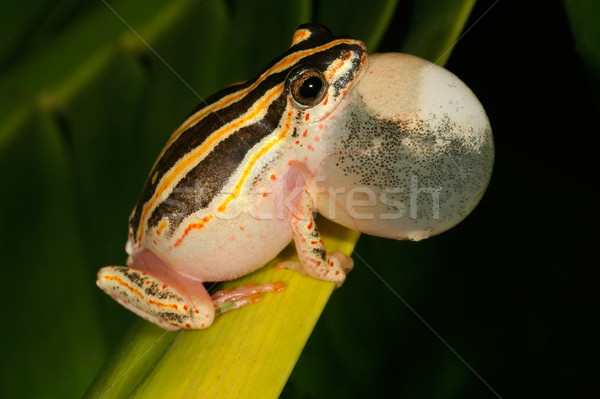 Painted reed frog  Stock photo © EcoPic