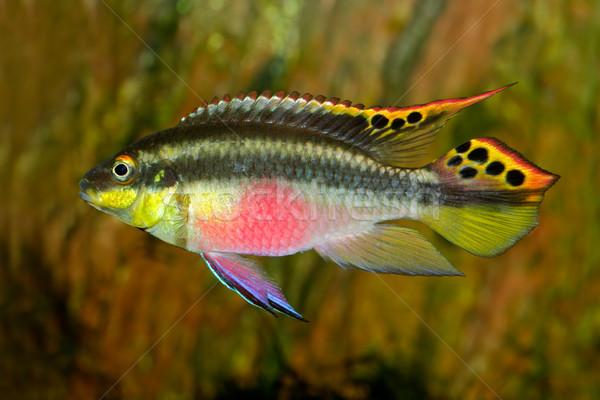 Kribensis (Purple Cichlid)  Stock photo © EcoPic