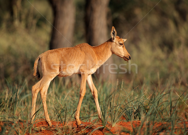 Tsessebe antelope calf Stock photo © EcoPic