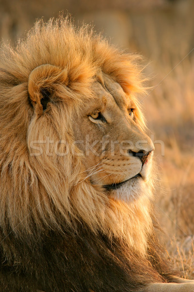 Stock photo: Big male African lion