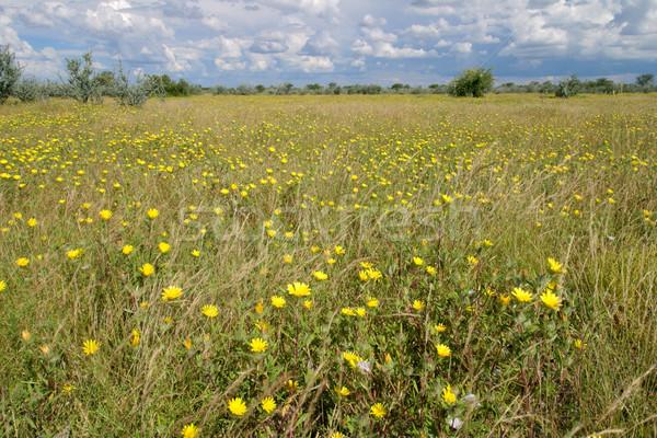 диких цветов пейзаж африканских желтый Полевые цветы парка Сток-фото © EcoPic