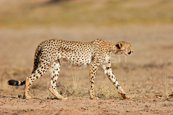 Gepárd sivatag Dél-Afrika természet macska haj Stock fotó © EcoPic