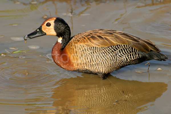 White-faced duck Stock photo © EcoPic
