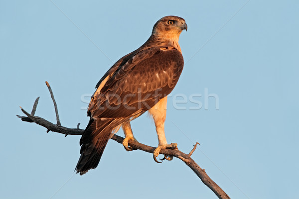 African hawk eagle Stock photo © EcoPic
