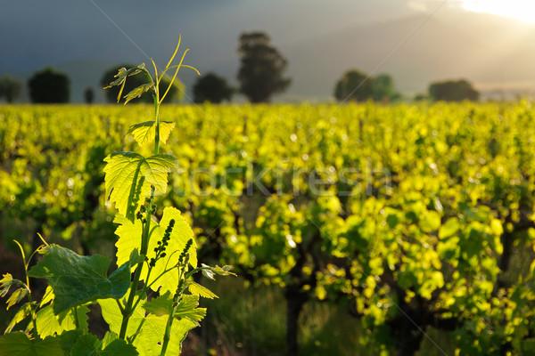 Vid hojas exuberante verde sol granja Foto stock © EcoPic