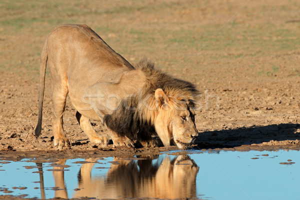 African lion drinking Stock photo © EcoPic