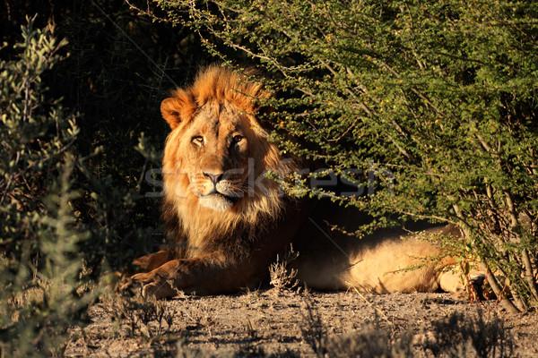 Groot mannelijke afrikaanse leeuw natuurlijke leefgebied Stockfoto © EcoPic