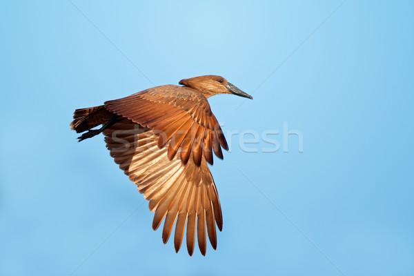 Stock photo: Hamerkop bird in flight