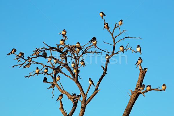 Schuur dode boom South Africa Blauw dier afrikaanse Stockfoto © EcoPic