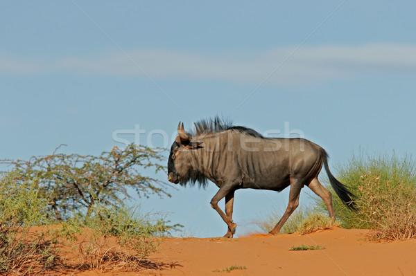 Blue wildebeest on dune Stock photo © EcoPic