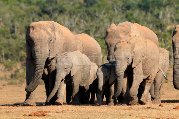 African elephant herd Stock photo © EcoPic