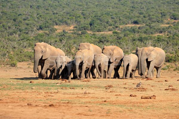Stock photo: African elephant herd