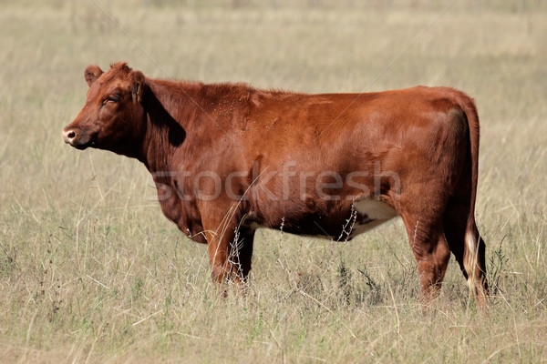 Red angus Stock photo © EcoPic