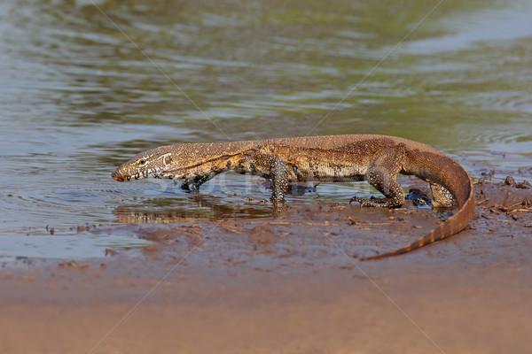 Nile monitor Stock photo © EcoPic